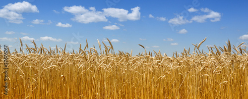 Leinwand Poster Gold wheat field