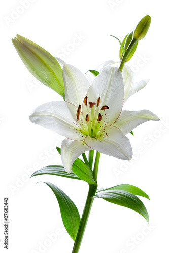Fotografia  Beautiful lily flowers, isolated on white