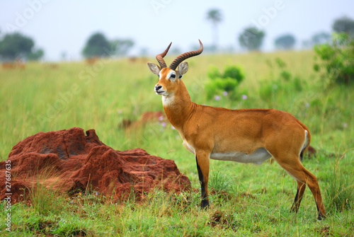 Poster Antilope Kob, Uganda race