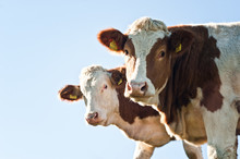 Two Nosy Cows