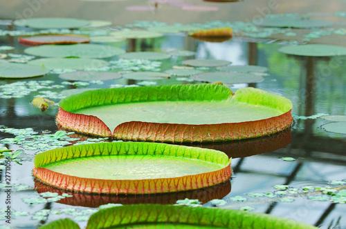 Foto  Victoria regia leaves