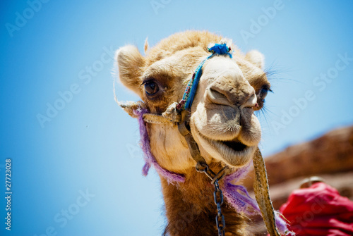 Photo sur Aluminium Chameau Camel head