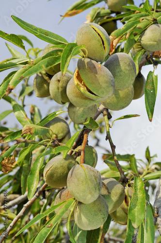 Fotografia almond tree