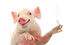 Pig Smoking Cigarette