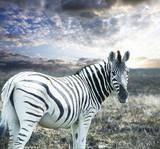 Fototapeta Zebra - Zebra