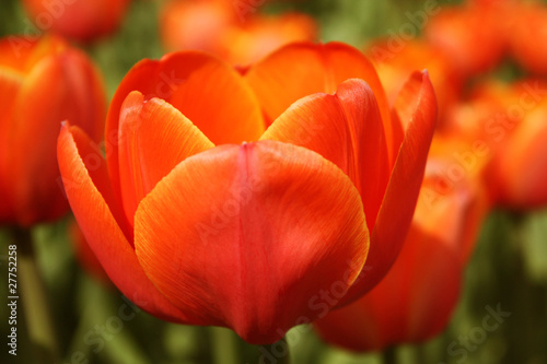 Poster Cappuccino Red tulip