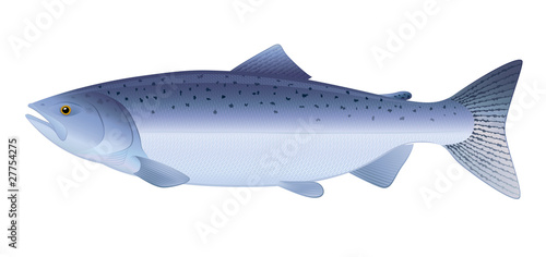 Obraz na plátně Atlantic Salmon. Full compatible. Created with gradients.