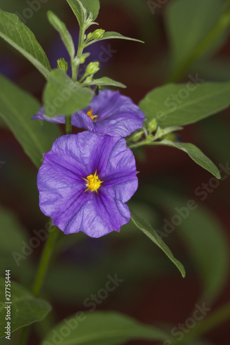 Photo Persian Violet