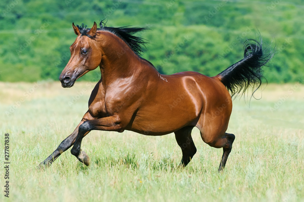 Fototapety, obrazy: bay arabian horse runs gallop