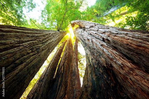 Sequoya - 27791055
