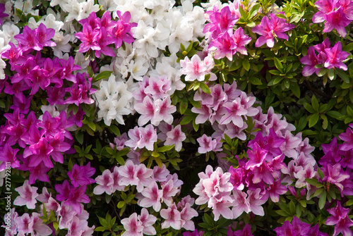 Fotobehang Azalea Background of Japanese pink white and purple azaleas