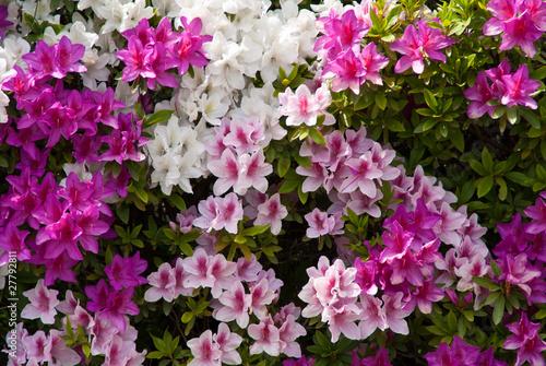 Deurstickers Azalea Background of Japanese pink white and purple azaleas
