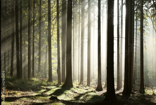 Foto auf Acrylglas Wald im Nebel Sunbeams enters coniferous stand on a misty autumn morning