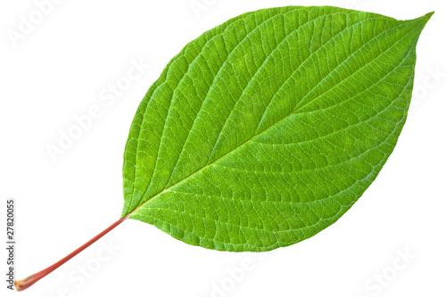 Obraz Green leaf with red stem - fototapety do salonu