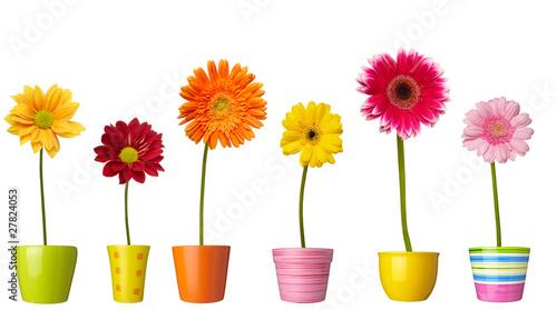 Ingelijste posters Gerbera flower nature garden botany daisy bloom pot