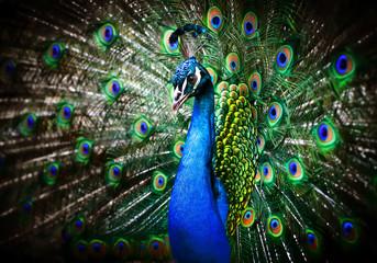 Fototapeta na wymiar Beautiful peacock
