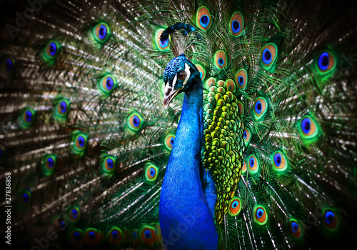 Foto op Aluminium Pauw Beautiful peacock