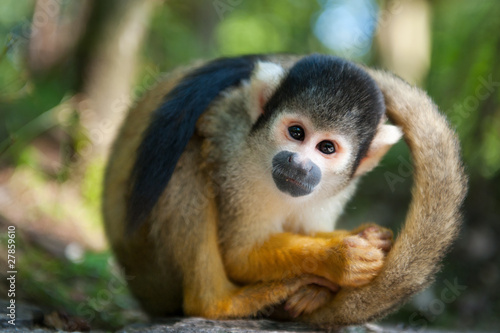 Photo sur Aluminium Singe cute squirrel monkey