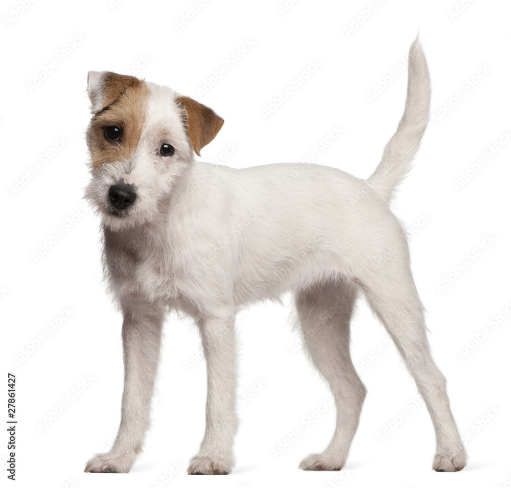 Fototapety, obrazy: Parson Russell Terrier puppy, 6 months old, standing