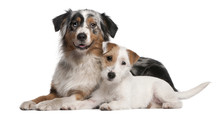 Australian Shepherd Dog And Parson Russell Terrier Puppy Lying