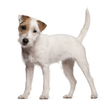 Parson Russell Terrier Puppy, ...