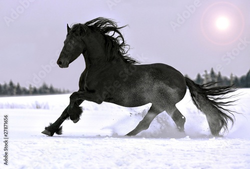 Valokuvatapetti Friesian stallion gallop in winter