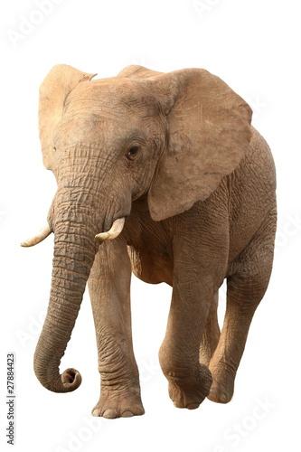 Foto op Plexiglas Leeuw African Elephant Isolated