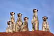 canvas print picture - Erdmännchen beobachtet Fotograf