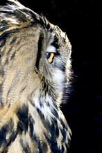 Portrait Of Wise Owl From One ...