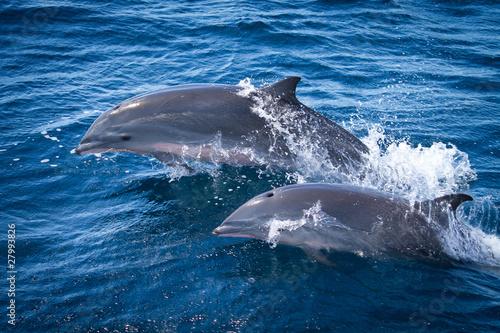Foto op Canvas Dolfijn Duo