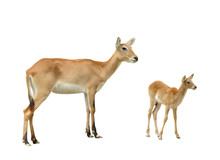 Female And Baby Red Lechwe Isolated