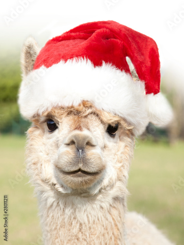 Tuinposter Lama White alpaca with Santa Claus hat