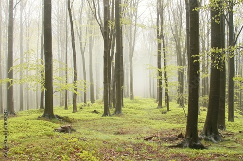 Papiers peints Foret brouillard Spring beech forest with mist moving between the trees