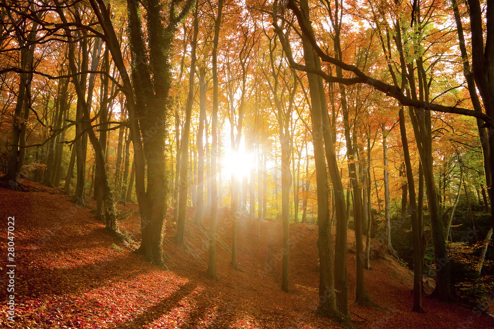 Fototapeta Sun shining through an autumn forest.
