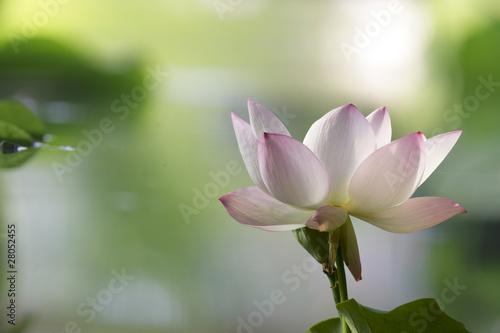 Foto op Aluminium Lotusbloem Lotus in habitat - portrait