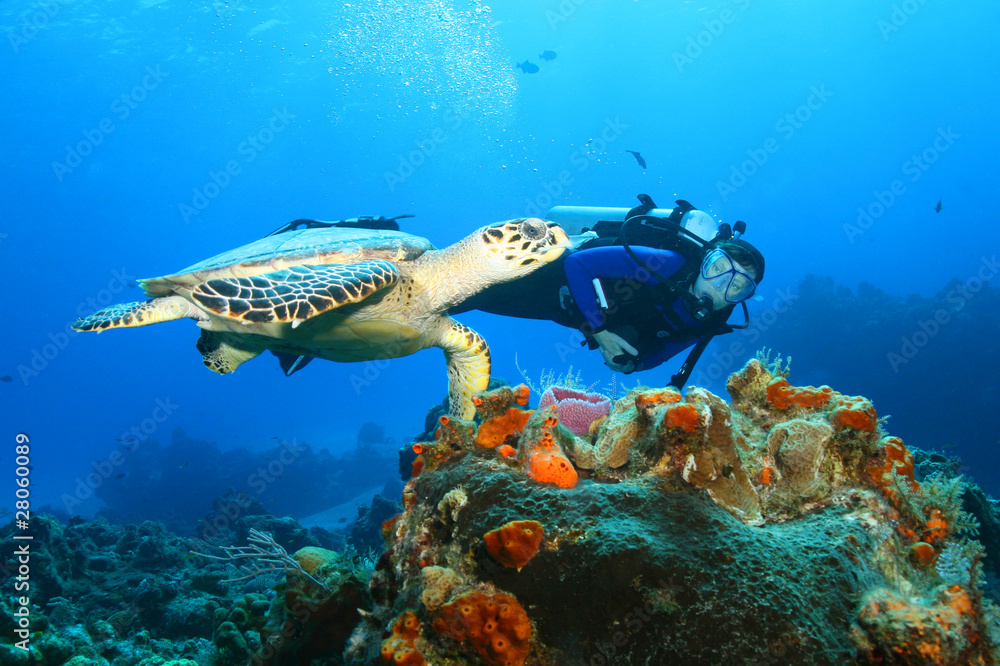 Fototapeta Hawksbill Turtle and Diver
