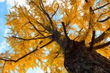 Maidenhair Tree In Japan