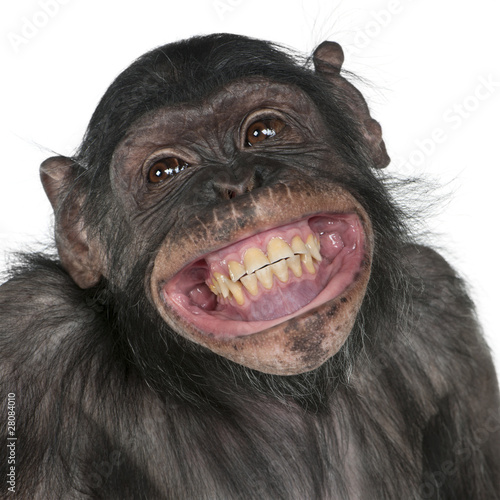 Spoed Foto op Canvas Aap Close-up of Mixed-Breed monkey between Chimpanzee and Bonobo
