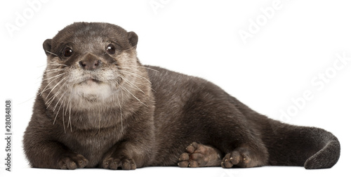Photo  Oriental small-clawed otter, Amblonyx Cinereus, 5 years old