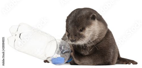 Fototapeta Oriental small-clawed otter, Amblonyx Cinereus, 5 years old obraz na płótnie