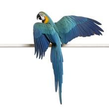 Blue And Yellow Macaw, Ara Ara...