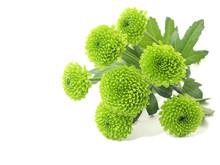 Green Chrysanthemum Flowers