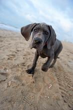 Great Dane Puppy On The Beach