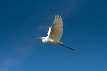 Great Egret In Flight Against The Blue Sky / Ardea Alba