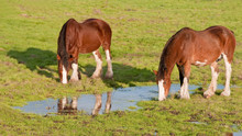 Grazing Clydesdale Horses
