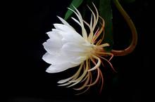 昙花(the Epiphyllum,night-bl...