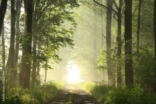 Papiers peints Foret brouillard Dirt road in deciduous forest on a misty spring morning