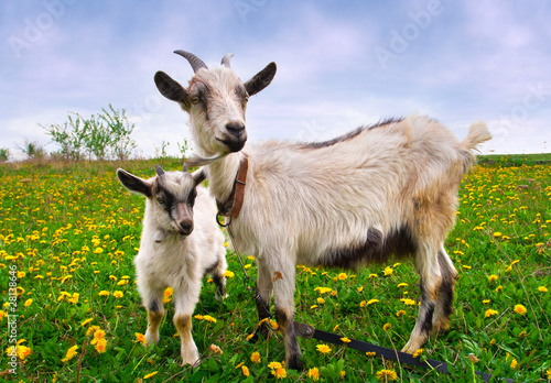 Beautiful summer landscape with a goat and kid Canvas Print