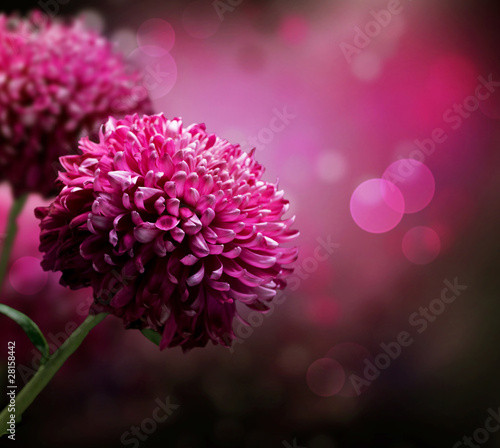 Foto op Aluminium Bloemen Dahlia Autumn flower design. With copy-space