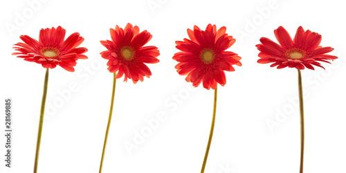 Papiers peints Marguerites Quatre marguerites rouges